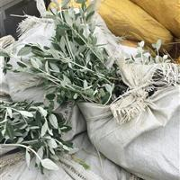 【江苏地被草花大棚苗圃基地供应】银石蚕(水果兰),红叶景天