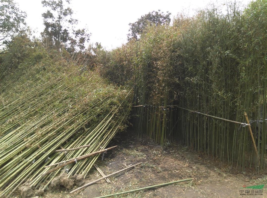 四川斑竹基地 成都斑竹 钢竹 黄竹 竹子批发