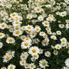 青州雏菊价格、雏菊种植、雏菊供应价格 雏菊批发