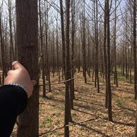 8公分8公分銀杏樹價格·10公分10公分銀杏樹圖片·山西銀杏