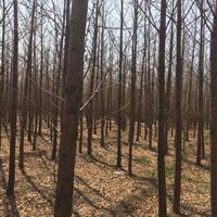 緊急出售米徑8公分銀杏樹·米徑8公分銀杏樹價格緊急出售銀杏樹
