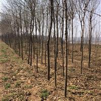 8公分銀杏樹價格·10公分銀杏樹圖片·占地8-10公分銀杏樹