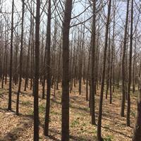 山西地区供应米径8-10公分银杏树·地区8公分占地银杏树价格