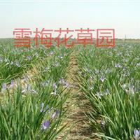 各种水生植物,马蔺、马莲、马兰、马兰花、旱蒲