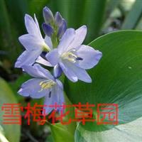 各种水生植物,雨久花,蓝花菜,浮蔷