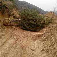 3米占地油松价格・占地4米油松产地・紧急出售占地3-4米油松