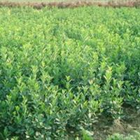 大量供应小苗:卫矛小苗 、五叶地锦小苗 、蔷薇小苗