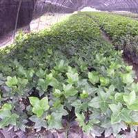 大量供应小苗:熊掌木小苗、龟甲冬青小苗、六月雪小苗