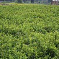 大量供应小苗:杜鹃小苗、春鹃小苗、紫鹃小苗