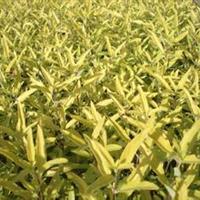 大量供应小苗:棣棠、金叶莸、剑麻小苗、水腊小苗