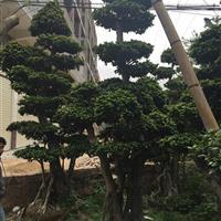 自家种植造型榕树2