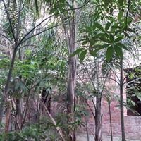 供应各种规格皇后葵(金山葵)胸径10~40cm 场地直销报价