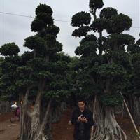 漳州地区供造型榕树10