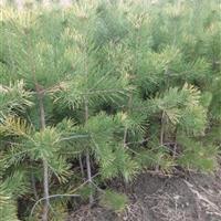大量供应:60_1.2米樟子松,云杉