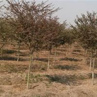 *新供應紅櫸小苗、1-4公分櫸樹價格、*新櫸樹苗圖片、櫸樹苗