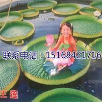 浙江地区供应水生植物王莲,可观赏可坐人