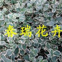 常春藤,花叶蔓长春藤,花叶常春藤,花叶蔓长春