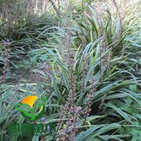 供应金边麦冬、木槿、连翘、月季