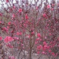 供應紫葉桃、櫻花、紫薇、蜀檜、垂柳、大葉女貞、榆葉梅