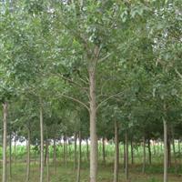 供应垂柳、大叶女贞、栾树、白腊、雪松、紫薇、法桐
