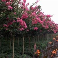 供應楊樹、西府海棠、紫薇、垂柳、櫻花、欒樹、白臘
