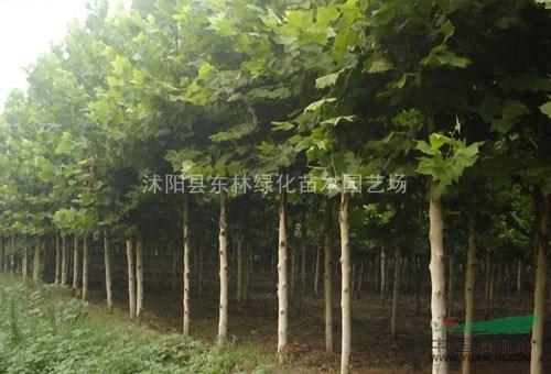 银杏、法桐、紫叶桃、碧桃、木瓜、垂槐、黄金槐、垂柳、金丝柳