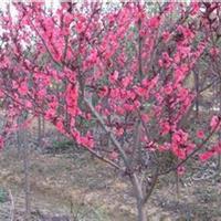 红枫.碧桃、木瓜、臭椿、金枝国槐、榉树、红叶李、七叶树