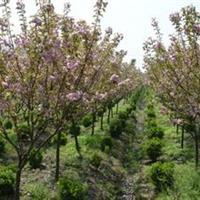 供应樱花、栾树、木槿、柳树、银杏、法桐、大叶女贞
