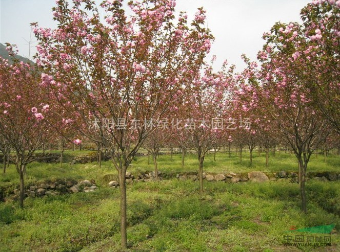 紫叶李、木槿、广玉兰、高杆女贞、樱花、楸树、紫荆、紫薇
