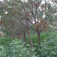 供应合欢、栾树、法桐、国槐、垂柳、樱花、枫杨