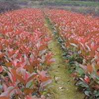 红叶石楠.红王子锦带,火棘.海棠.海桐.龟甲冬青.紫丁香.