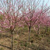 供應黃金槐、美人梅、榆葉梅、珍珠梅、木瓜海棠、板栗樹
