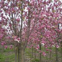 供應玉蘭、紫薇、紫荊、紫葉李、垂柳、黑松、欒樹、國槐