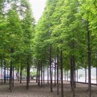供应水杉、高杆女贞、垂柳、白腊、朴树、西俯海棠、龙爪槐