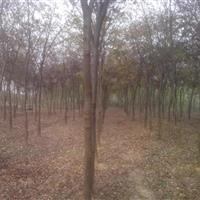 供榉树.?;?垂柳.蜀桧、龙柏、合欢.栾树.广玉兰.香樟.