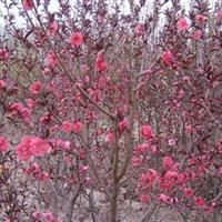 供应紫叶桃、大叶女贞、樱花、黄金槐、桂花、合欢,垂柳
