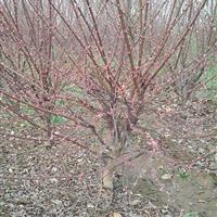 供应榆叶梅、石榴、意杨、水杉、国槐、栾树、垂柳、樱花、红枫