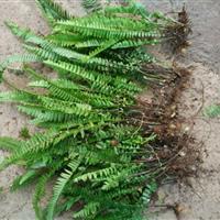云南地区供应20―50分肾蕨地苗.红花葱兰