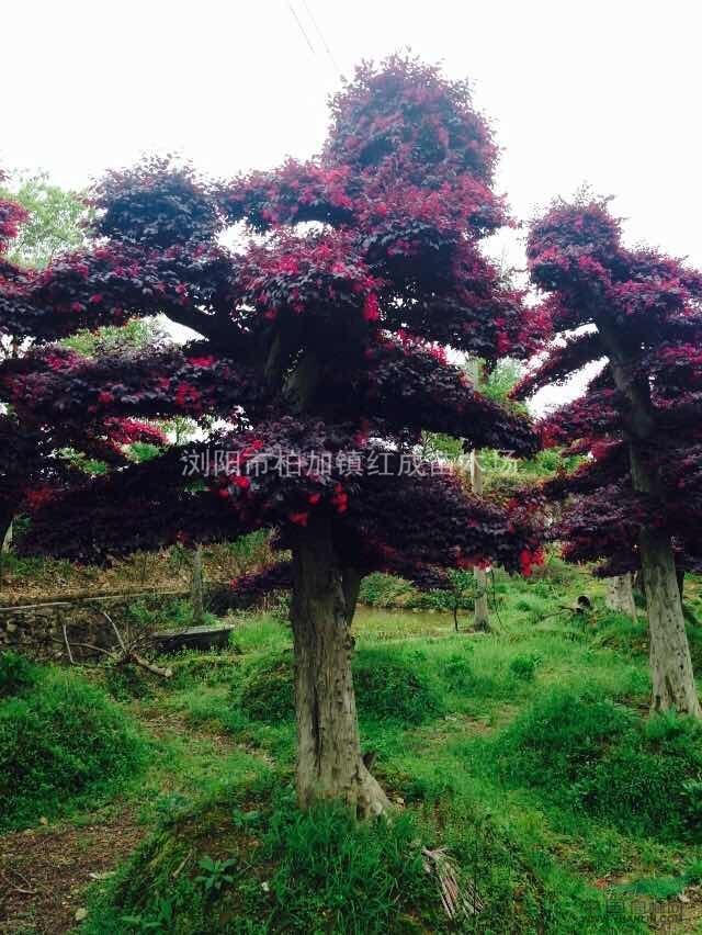 20公分造型红花继木盆景、湖南红花继木、造型红花继木价格