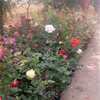 品种月季批发供应:盆栽月季价格/盆栽品种月季图片/品种月季