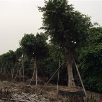 鸡冠刺桐、罗汉松、榕树