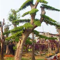造型榆树、造型紫薇、造型古桩