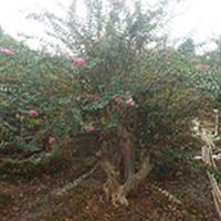 浏阳紫薇、紫薇树桩