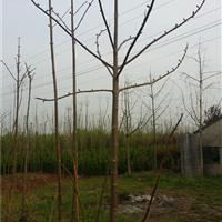 江苏地区供应2-20公分白花泡桐