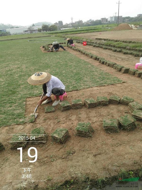漳州长泰老潘绿化草皮场
