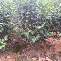 湖南茶花,茶花树供应