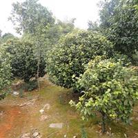 造景茶花树,茶花球、15公分罗汉松价格、罗汉松价格表