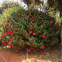5公分茶花树价格、茶花球价格、2米茶花球价格