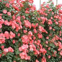 蔷薇月季批发供应:江苏*新蔷薇价格,*新蔷薇图片,蔷薇基地