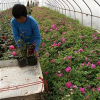 江蘇盆栽四季玫瑰價格便宜、批發四季玫瑰工程苗、玫瑰月季圖片